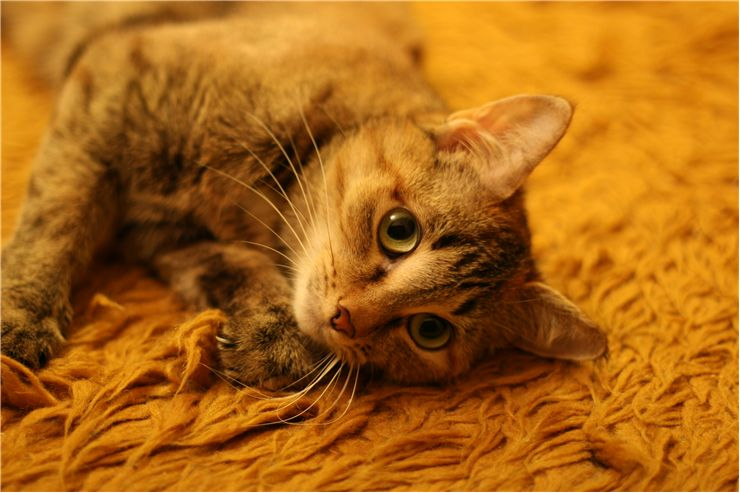 Picture Of Cat Lying On A Carpet